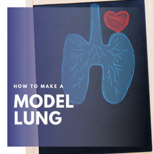 Model lung